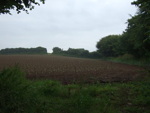 Young crop field, St Erth