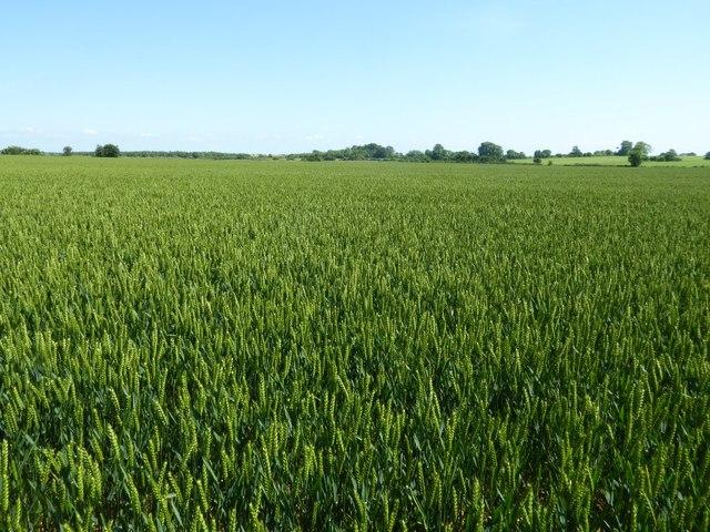 Large wheat field