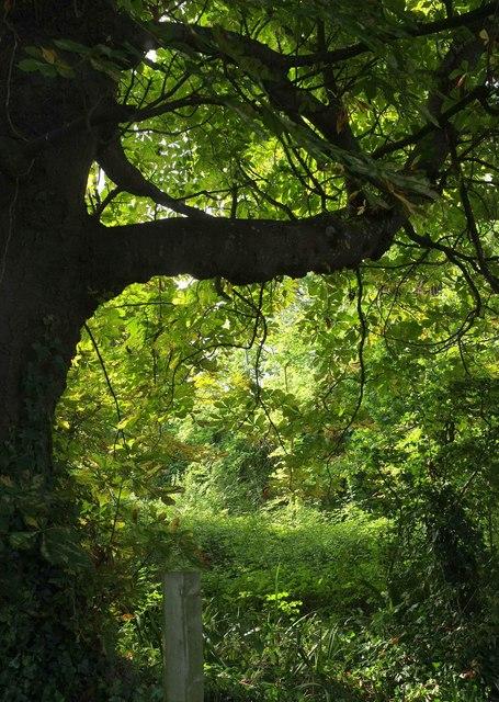 Horse chestnut, rear of Nightingale Close
