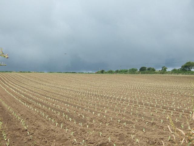 Crop field near Sheffield
