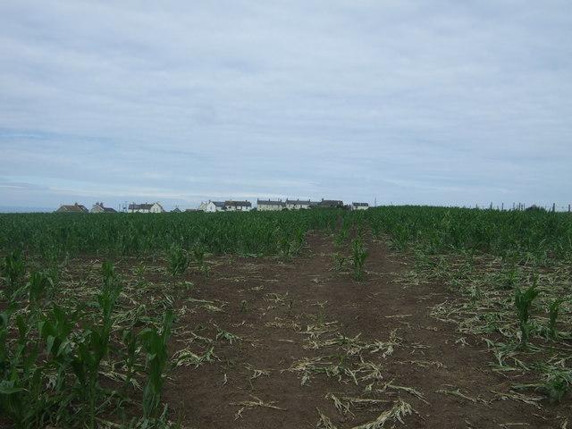 Maize crop towards Carn Towan