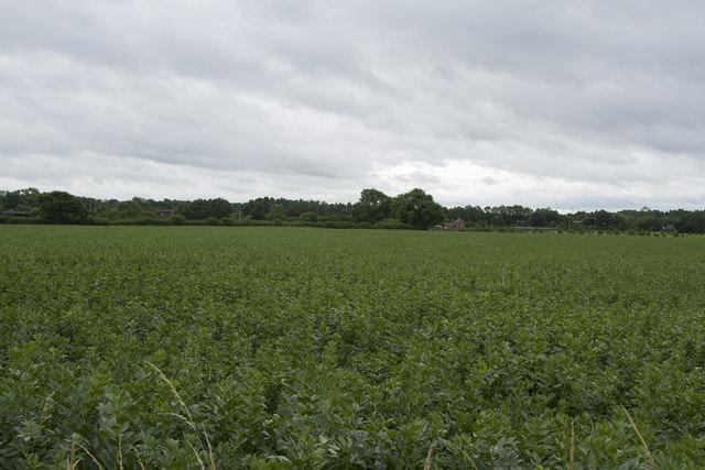 Broad bean crop