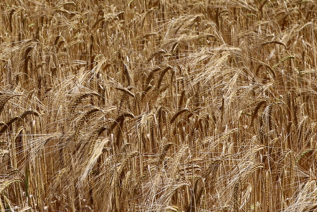 Barley, pure barley