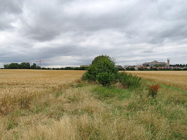 Wheatfields on the edge of Cambridge
