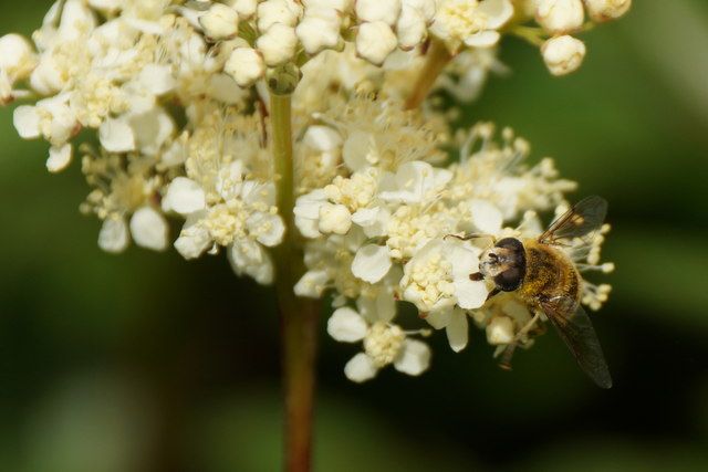 The hoverfly Eristalis arbustorum, Uyeasound