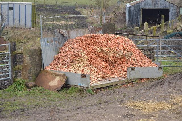 Carrots and parsnips, Poplar Farm