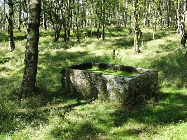 Stone trough in silver birch woodland