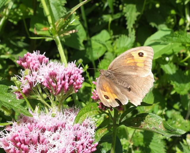 Meadow Brown Butterfly near Kennack Sands