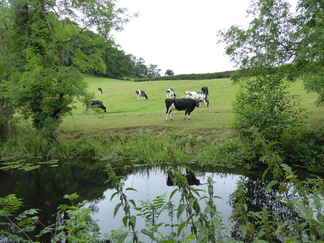 Cow beside the Montgomery Canal