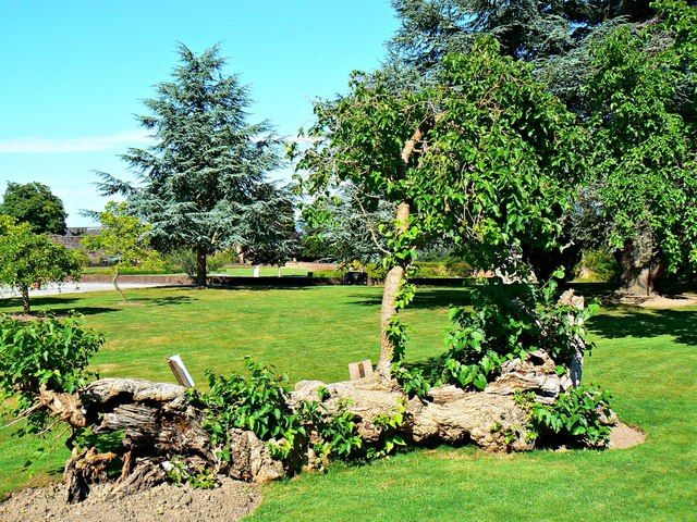 Mulberry tree, Bodelwyddan Castle and Park