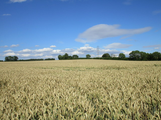 Autumn sown wheat nearly ready for harvesting