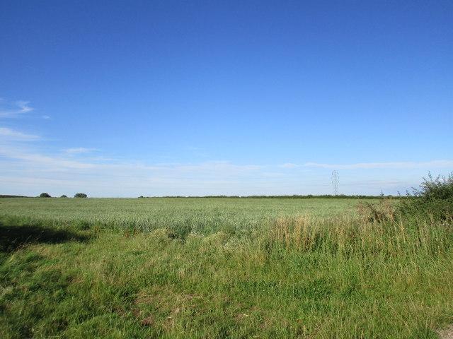 Wheatfield near Lodge Farm