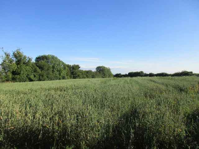 A field of spring sown wheat