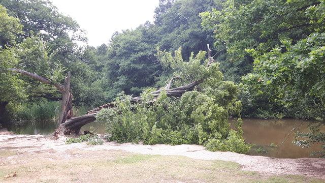 Fallen Tree, Trent Park, Enfield