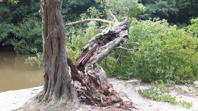 Damaged Tree, Trent Park, Enfield