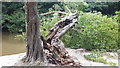 TQ2897 : Damaged Tree, Trent Park, Enfield by Peter Tuck
