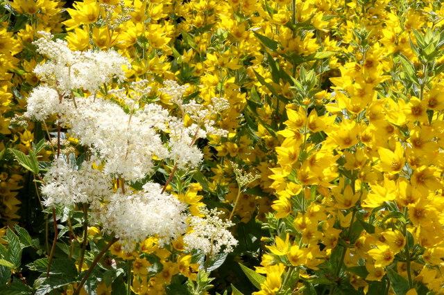 Roadside Meadowsweet and Yellow Loosestrife