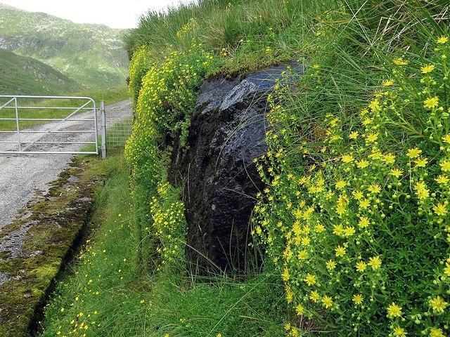 Yellow Saxifrage near Cruachan Dam