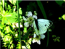 H6556 : Green veined butterfly, Skey by Kenneth  Allen