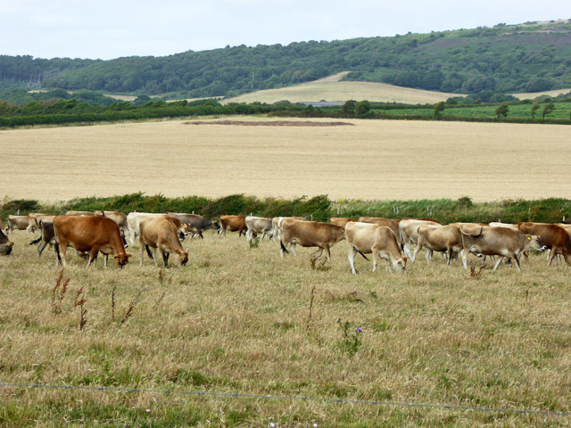 Herd of Jersey cows, Sudmoor