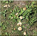 TG3203 : Fairy Ring Mushrooms (Marasimus oreades) by Evelyn Simak