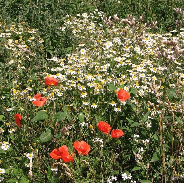 Scented mayweed and poppies