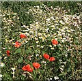 TG3004 : Scented mayweed and poppies by Evelyn Simak