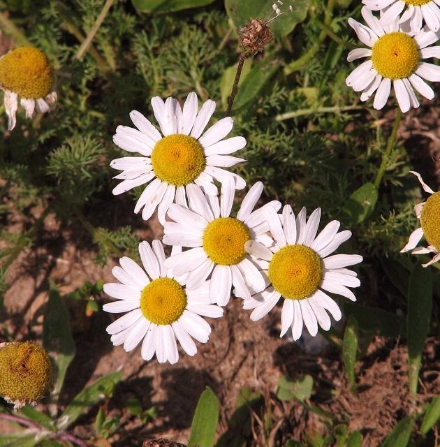 Scented mayweed (Matricaria recutita) - flowers