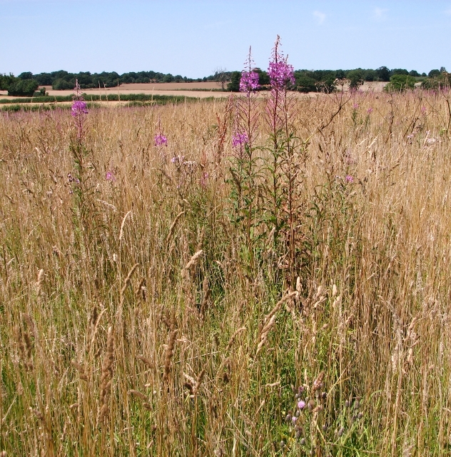 Rosebay willowherb  (Chamaenerion angustifolium)