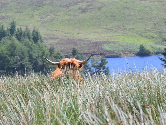 A Highland cow at Baddinsgill