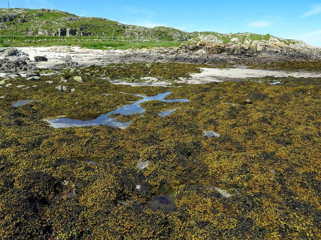Bladder wrack on rocks, Vaul Bay