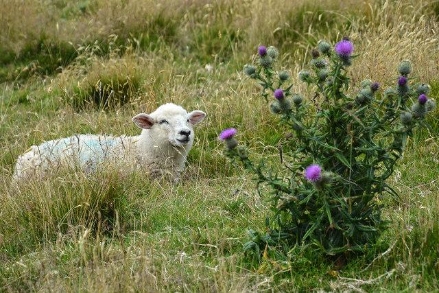 North Devon : Grassy Field & Sheep