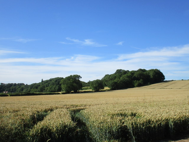 Wheatfield and hillside plantations near Kirklington
