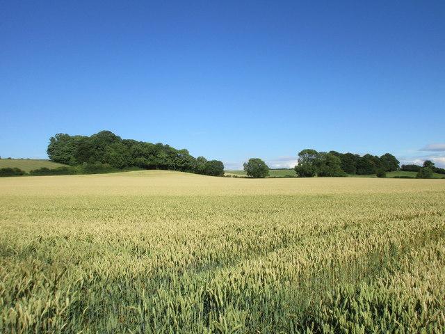 Hillside plantation near Kirklington