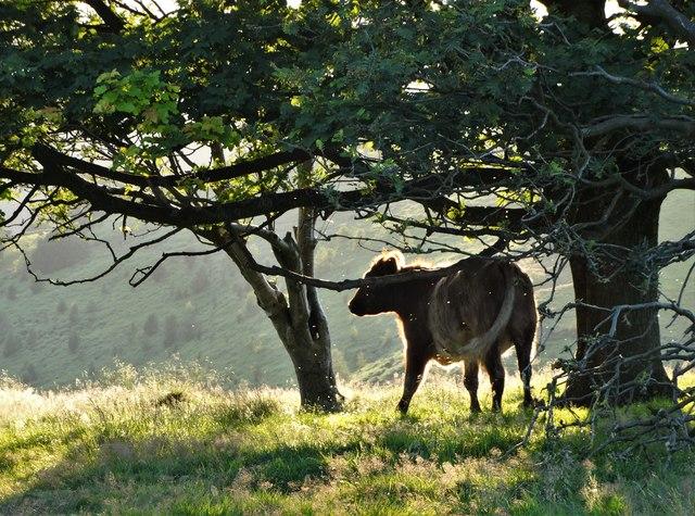 Bullock scratching itself - Hathersage Moor