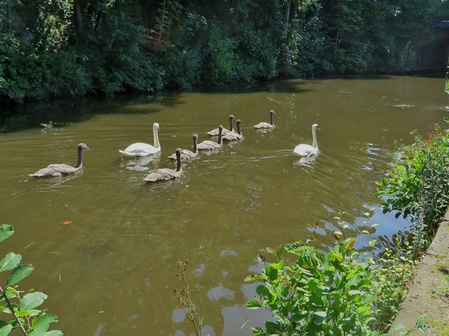 Seven cygnets swimming