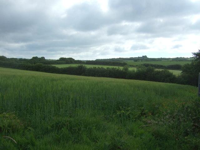Cereal crop near Boscawen Cottages