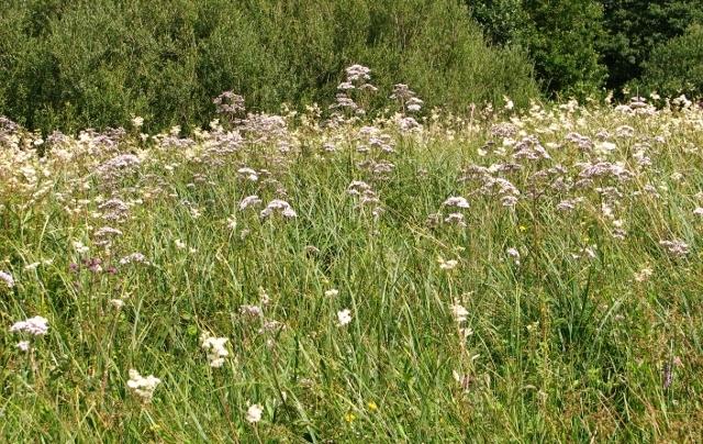 Meadowsweet and Wild Valerian