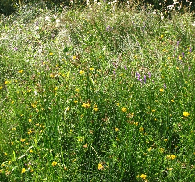Greater Bird's foot trefoil and Tufted vetch
