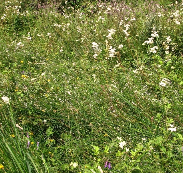 The Beck Meadow - wild flowers