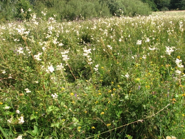 The Beck Meadow -  Meadowsweet