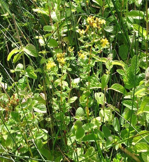 Square-stalked St John's Wort (Hypericum tetrapterum)