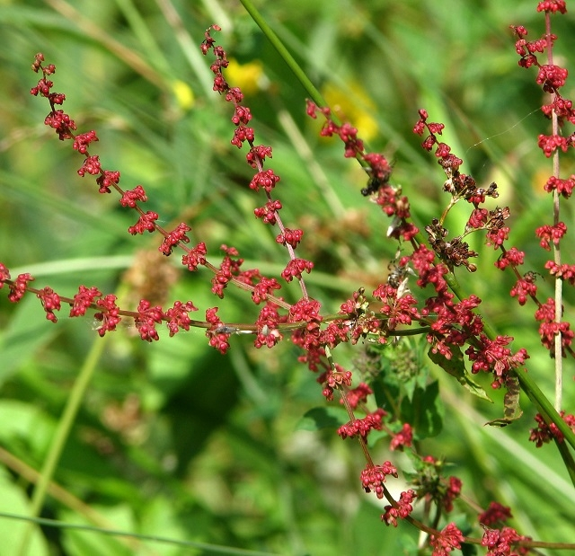 Clustered Dock (Rumex conglomeratus) - fruiting branches