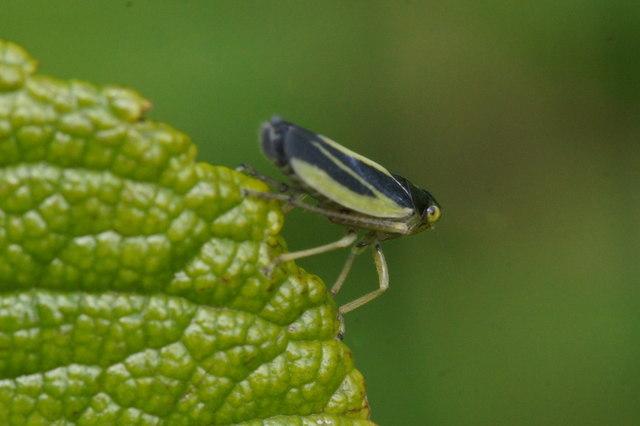 The leafhopper Evancanthus interuptus, Baltasound
