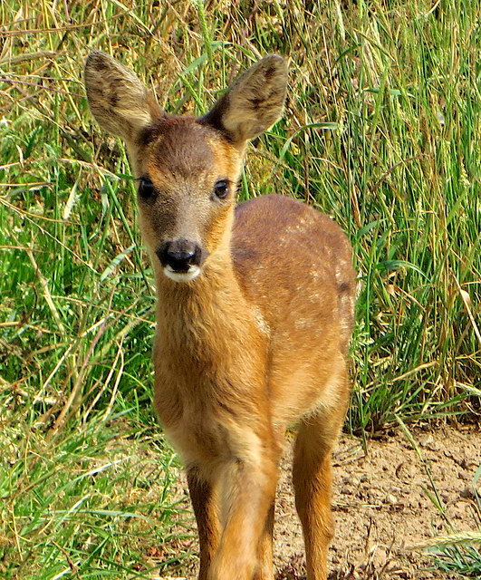 Baby deer near Out Newton