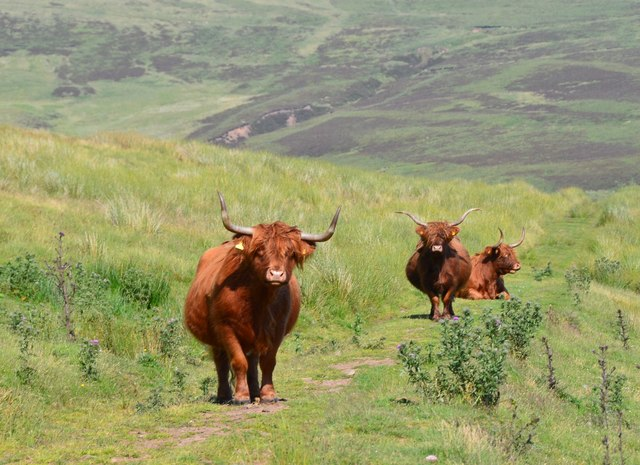 Highland cattle, Muckle Knock