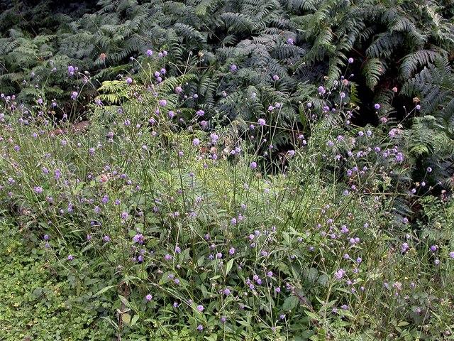 Devil's-bit scabious, Battle Great Wood
