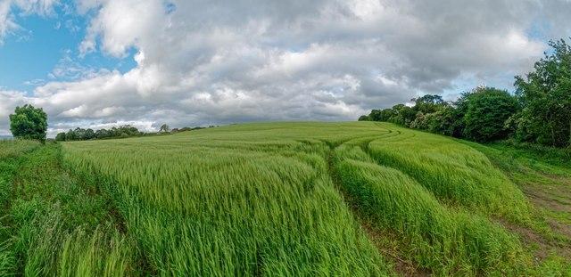 Barley Field - Teandore
