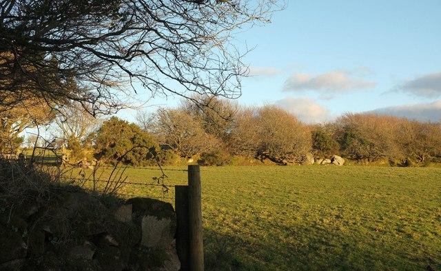 Trees on Cornish hedge near Pendrift