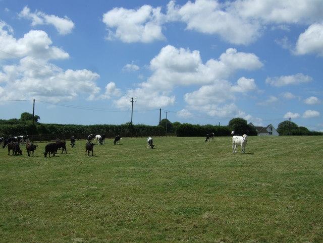 Cattle, Napheane Farm
